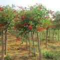 jual-pohon-dadap-merah