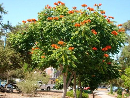pohon spathodea