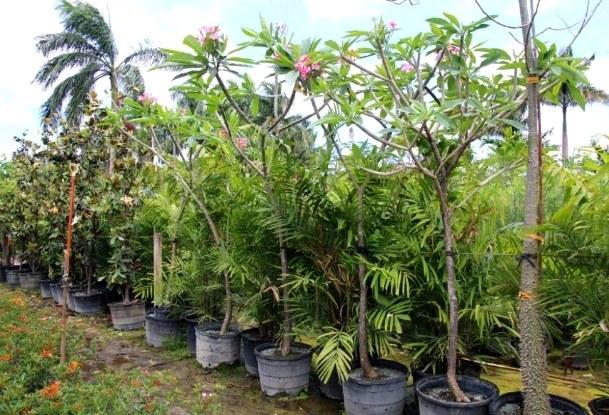 pohon kamboja