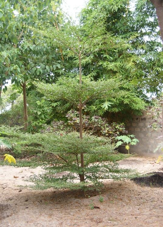 pohon ketapang kencana