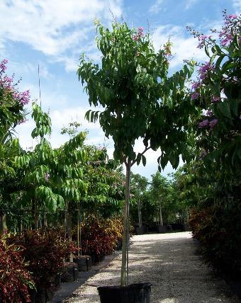 pohon bungur