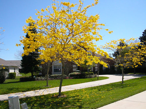 jual pohon tabebuya di Kolaka Timur