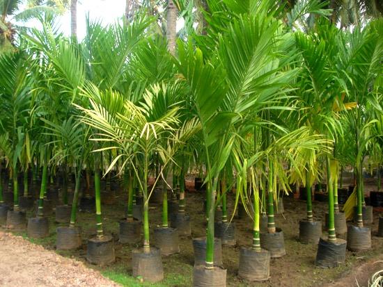 pohon palem