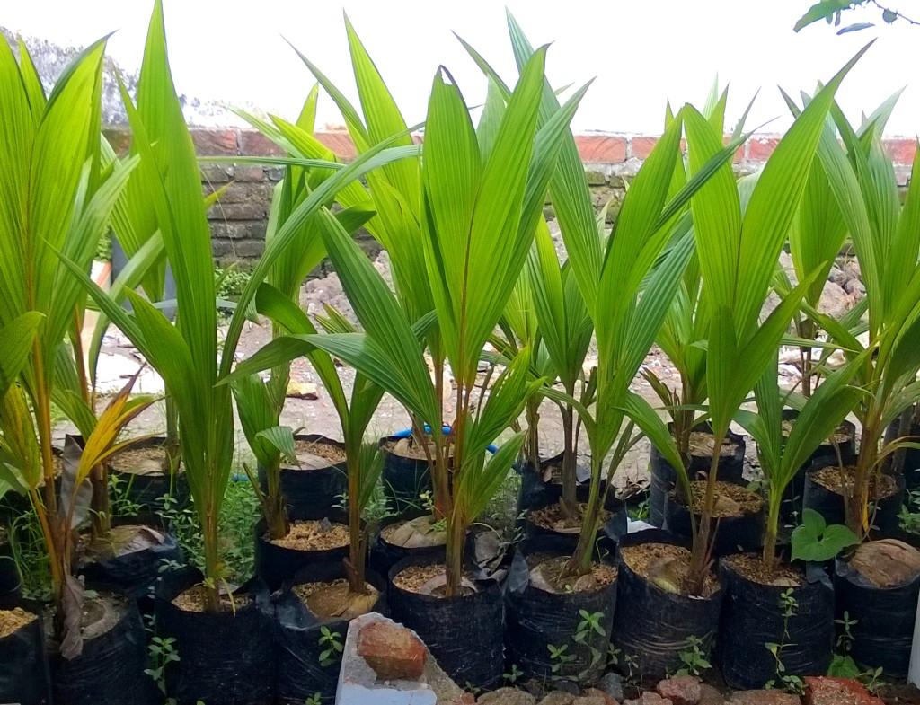 jual bibit kelapa di Pangkalan Bun