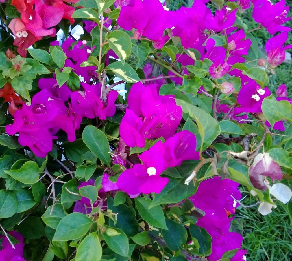 bibit bunga bougenville