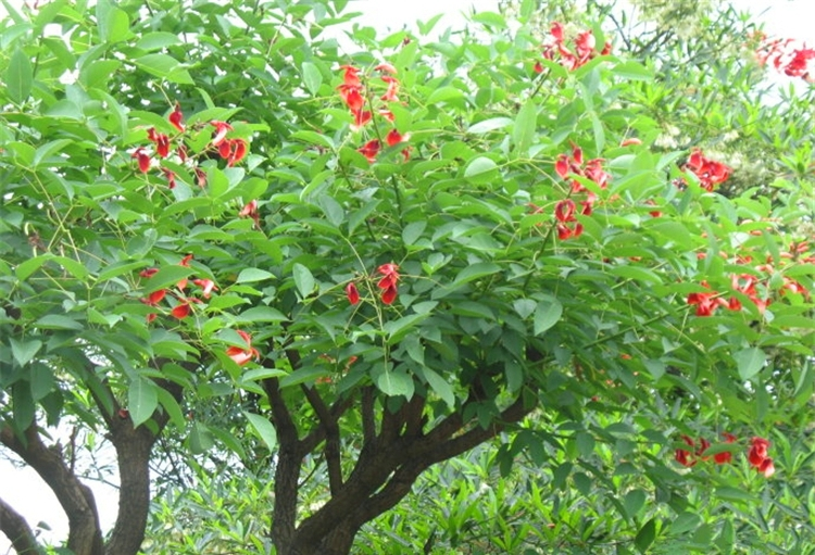 pohon dadap merah surabaya