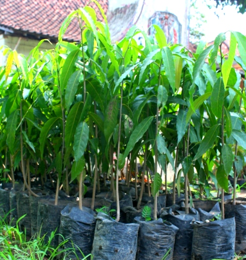 pohon glodokan