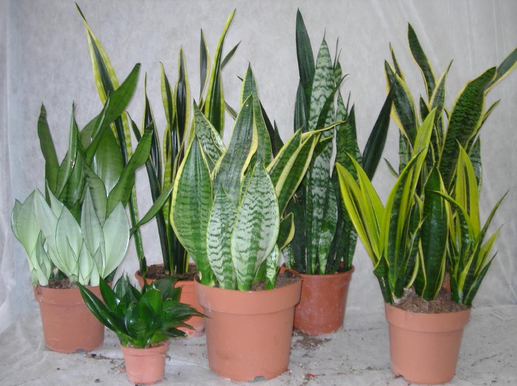 sewa tanaman sansivera