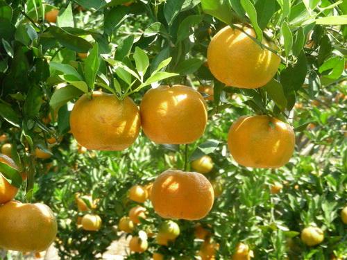 bibit jeruk keprok