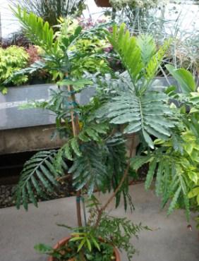 pohon kiara payung