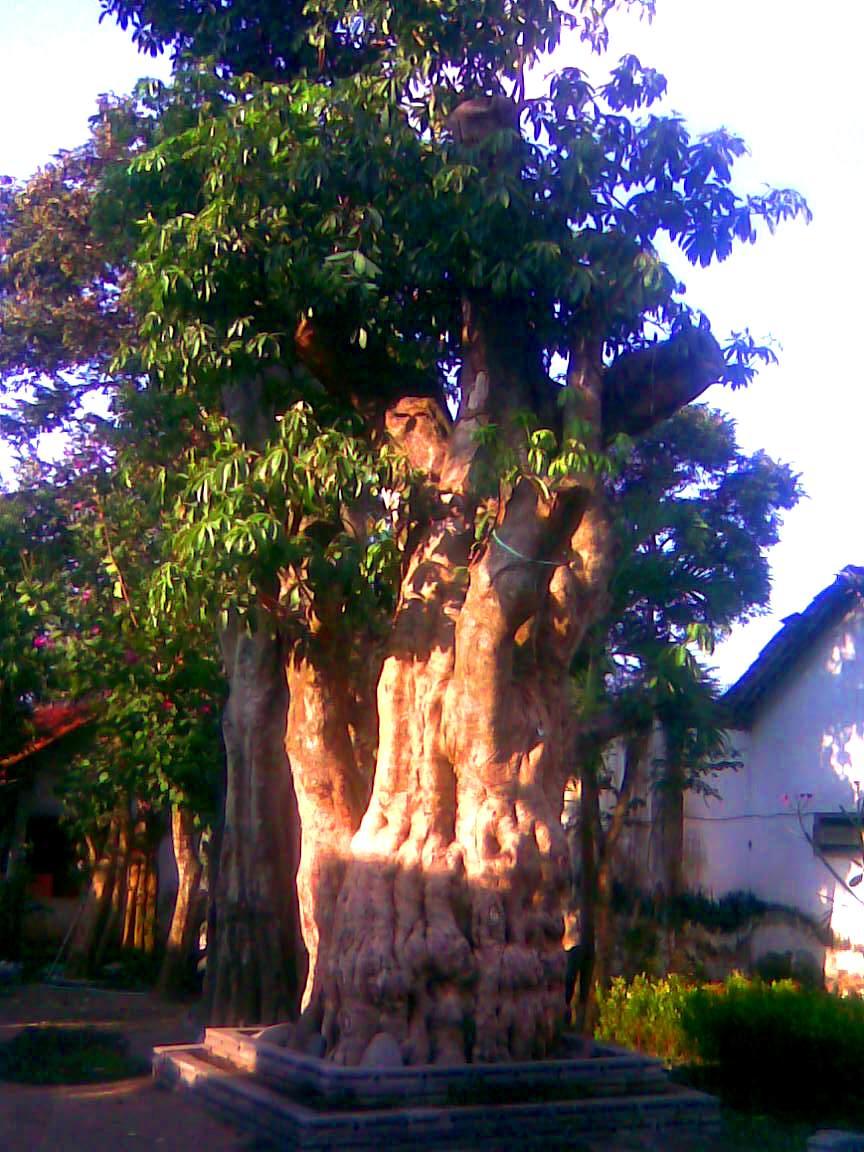 jual pohon pule di Bengkayang