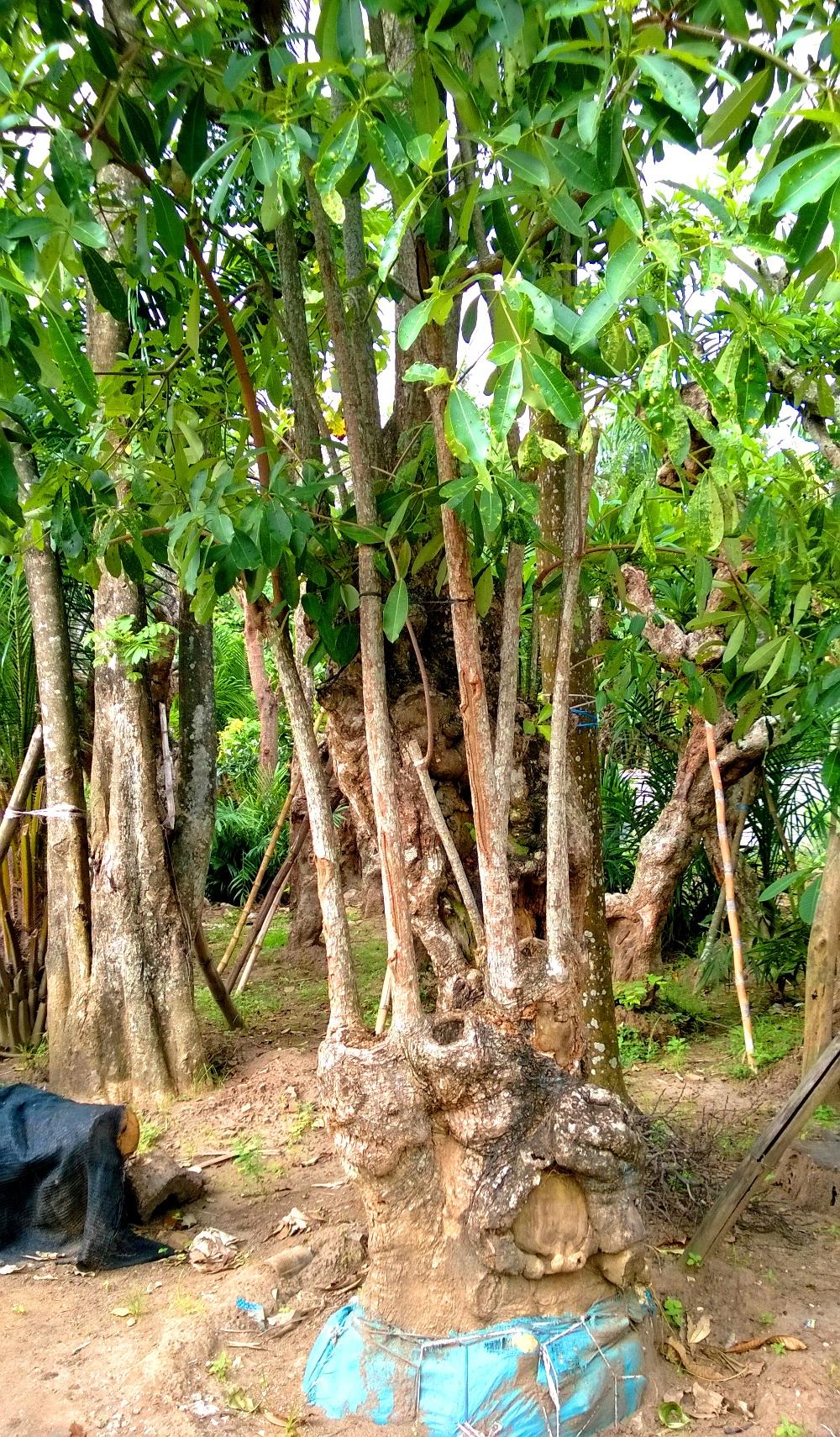 jual pohon pule