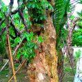 jual-pohon-pule