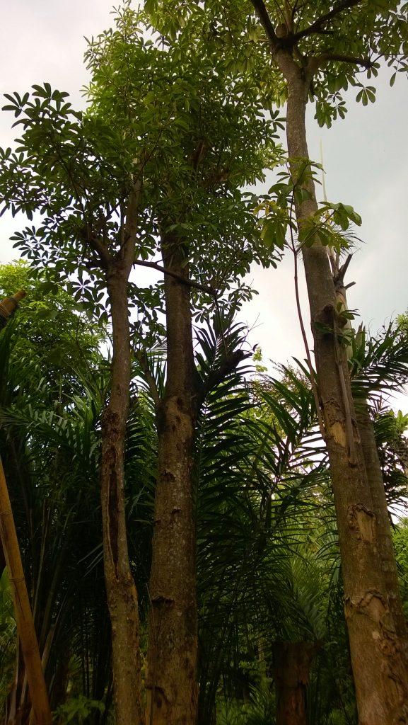 jual pohon pule Cakung