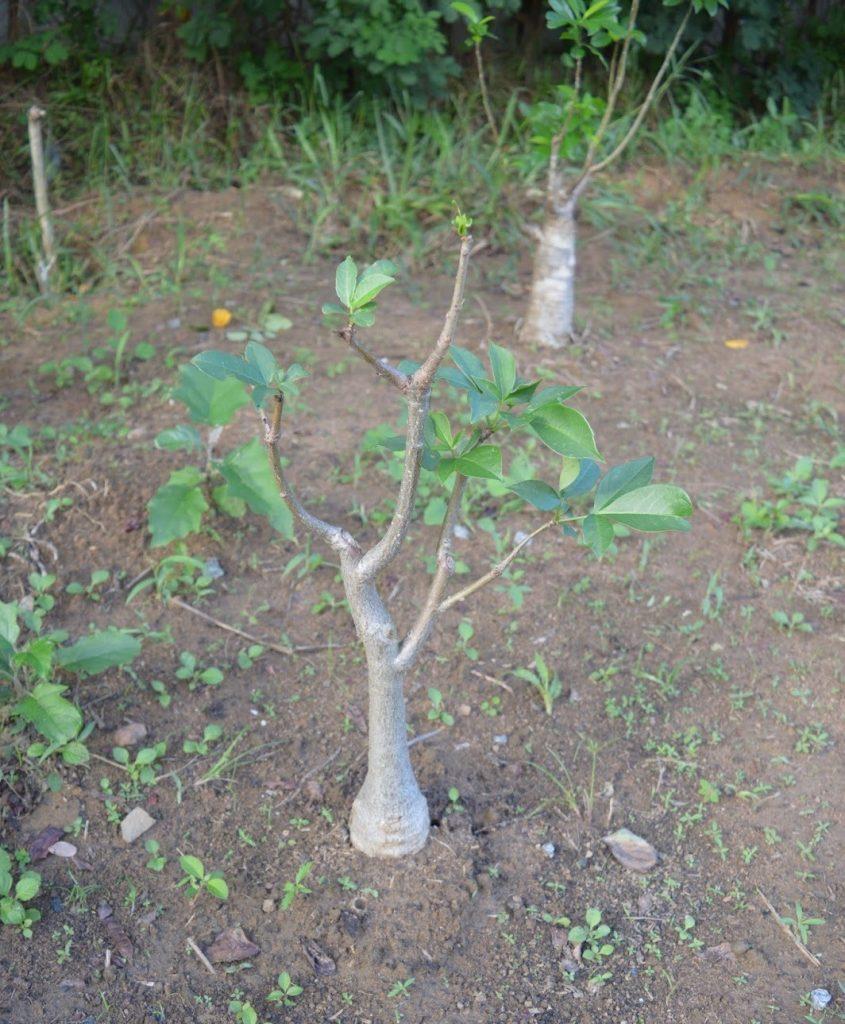 jual pohon baobab Bandar Lampung