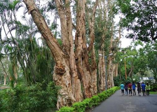 jual pohon kayu putih