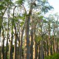 jual pohon moringa thouarsii