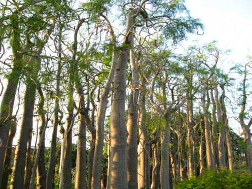 pohon moringa