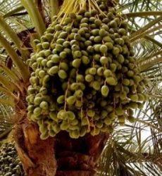 Jual Pohon Kurma Sehat Murah