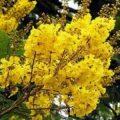 Jual Pohon Tabebuya Sehat Murah