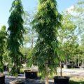 Jual Pohon Glodokan Tiang Murah Kualitas Istimewa