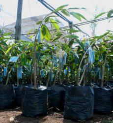 bibit-durian-montong