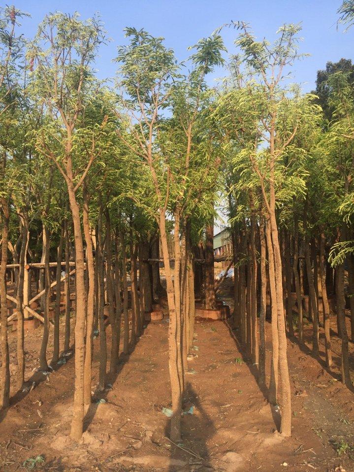 jual pohon asem di Bekasi