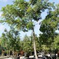 jual-pohon-trembesi
