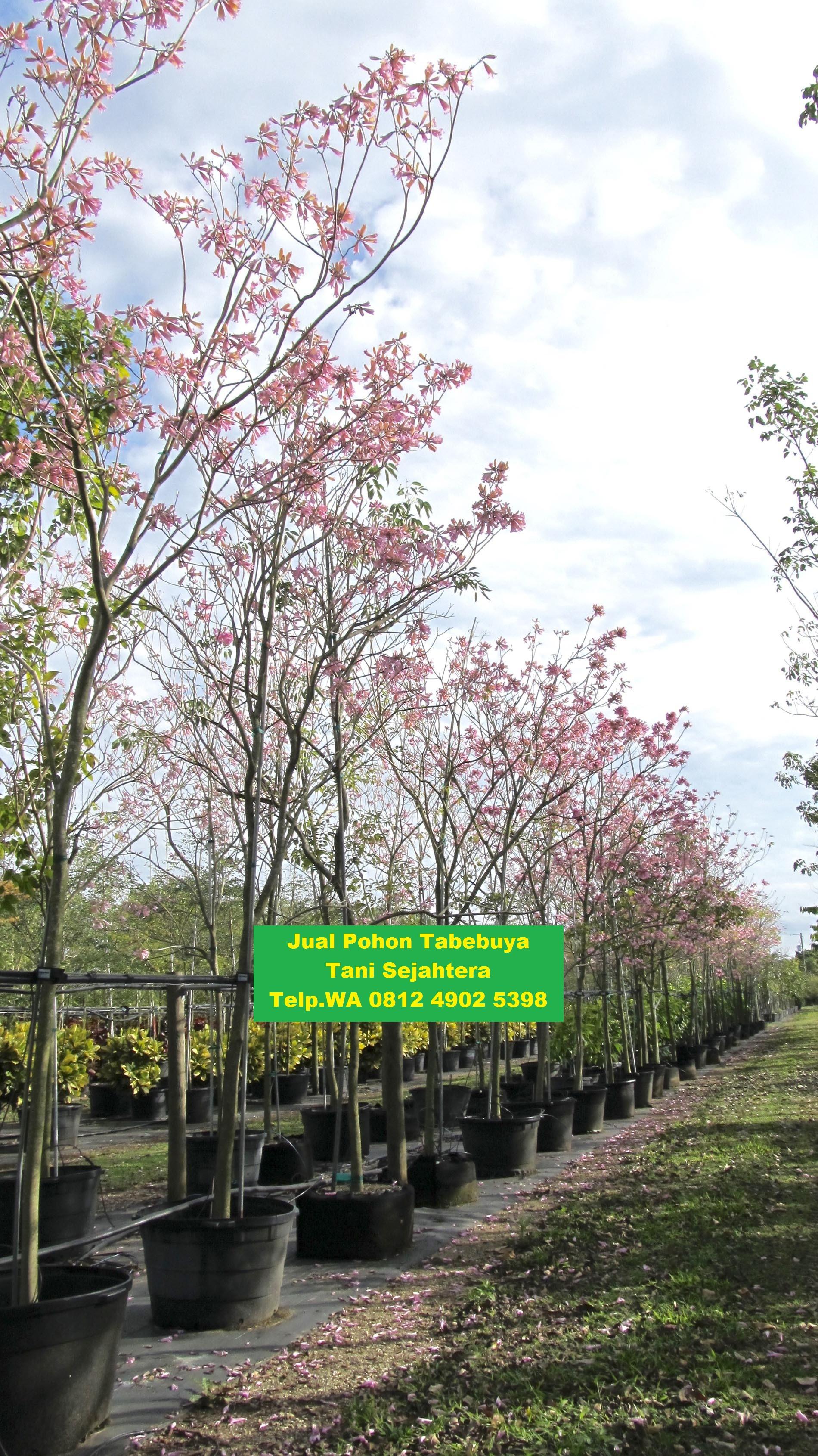 jual pohon tabebuya Halmahera Selatan