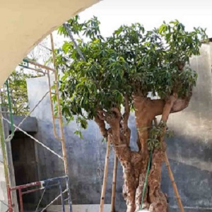 Jual Pohon Pulai Gemuk Murah