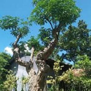 Jual Pohon Pulai Segar Murah