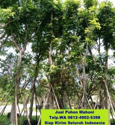 jual-pohon-mahoni